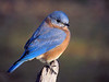 All Blue Review : This gallery is a collection of all the Bluebird shots from 2011 - Including 13 fledglings and their parents, Missy and Ben
