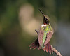 Hummingbirds : Ruby-throated Hummingbirds