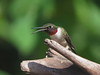 Hummingbirds : Ruby-throated Hummingbirds
