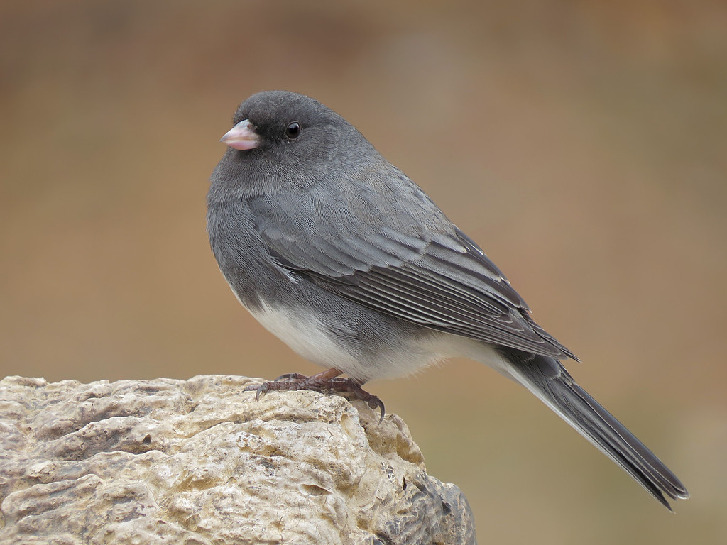 IMAGE: http://kenn3d.smugmug.com/Nature/Birds-Blossoms-Vol-7/i-qg4LRpb/0/XL/sx50_junco_511-XL.jpg